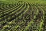 Thumbnail Cornfield, maize field Zea mays