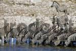 Thumbnail Zebras Equus drinking from a waterhole, Okaukuejo, Etosha National Park, Namibia, Africa