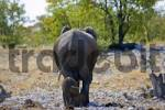 Thumbnail Elephants Elephantidae, mother and calf from behind, wagging their tails