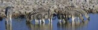 Thumbnail Zebras Equus drinking from a waterhole, Okaukuejo, Zebras Equus drinking from a waterhole, Okaukuejo, Etosha National Park, Namibia, Africa
