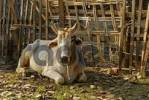 Thumbnail Zebu or Humped Cattle Bos primigenius indicus, Myanmar, Burma