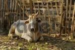 Thumbnail Zebu or Humped Cattle Bos primigenius indicus, Myanmar, Burma