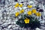 Thumbnail Mountain Buttercup Ranunculus montanus, Lake Lago di Braies, Bolzano-Bozen, Italy, Europe
