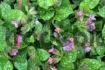Thumbnail Lungwort Pulmonaria officinalis, Schwaz, Tyrol, Austria, Europe