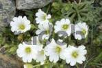 Thumbnail Mouse-ear Chickweed Cerastium uniflorum, Hohe Tauern, East Tyrol, Austria, Europe