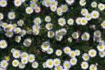 Thumbnail Daisies on a meadow Bellis perennis, North Tyrol, Austria, Europe