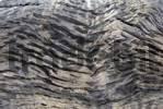 Thumbnail Texture, bark of a weathered eucalyptus tree Eucalyptus on the bank of the Irvin River, Coalseam Reserve, Western Australia, Australia