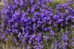 Thumbnail Blue Lechenaultia, wildflowers, Geraldton, Western Australia, Australia