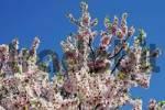 Thumbnail Blossoming almond tree Prunus dulcis, Prunus amygdalus, Tarbena, Alicante, Costa Blanca, Spain