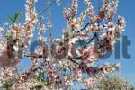 Thumbnail Blossoming Almond Tree Prunus dulcis, Prunus amygdalus, Benirrama, Valles de la Marina, Denia, Alicante, Costa Blanca, Spain