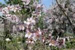 Thumbnail Blossoming Almond Tree Prunus dulcis, Prunus amygdalus, Benirrama, Valles de la Marina, Denia, Alicante, Costa Blanca, Spain