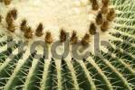 Thumbnail Golden Barrel Cactus, Golden Ball or Mother-in-Laws Cushion Echinocactus grusonii native to Central Mexico