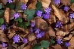 Thumbnail Kidneywort Hepatica nobilis, Tratzberg, Stans, Northern Tyrol, Austria, Europe