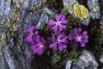 Thumbnail Least - or Alpine Primrose Primula minima, Gilfert, Tux Alps, Tyrol, Austria, Europe