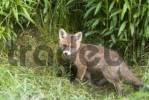 Thumbnail Young Red Fox Vulpes vulpes, Thaur, Tyrol, Austria, Europe