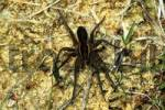 Thumbnail Raft Spider Dolomedes fimbriatus
