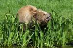 Thumbnail Brown Baer Ursus arctos on the lakeside, calling his cubs, Bavaria, Germany, Europe