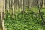 Thumbnail Forest floor in autumn covered by Wild - or Bears Garlic Allium ursinum, Kaltenaue near Bad Feilnbach, Bavaria, Germany