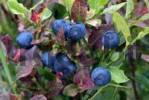 Thumbnail Bilberry, Blueberry Vaccinium myrtillus, Kellerjoch, Schwaz, Tyrol, Austria, Europe