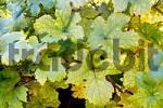 Thumbnail Vine leafs
