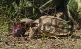Thumbnail Chaco Tortoise Geochelone chilensis, eating the fruit of the fig cactus Opuntia spec., Boqueron, Gran Chaco, Paraguay, South America