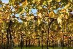Thumbnail Vine leaf in autumn