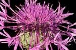 Thumbnail Centaurea jacea