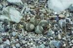 Thumbnail Little Ringed Plovers nest Charadrius dubius, upper Isar River, Bavaria, Germany