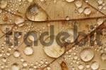 Thumbnail Raindrops on a leaf