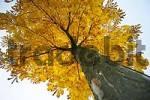 Thumbnail Chestnut in autumn