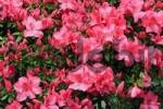 Thumbnail Azalea Rhododendron, full red blossoms, luxuriously flowering