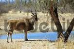 Thumbnail eland in Namibia
