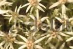 Thumbnail Leontopodium stracheyi