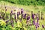 Thumbnail Green-winged Orchids Orchis morio growing in a field