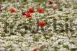 Thumbnail Field Poppies or Red Poppies Papaver rhoeas and Daisies Leucanthemum growing on a colourful meadow, Brand, Middle Franconia, Bavaria, Germany, Europe