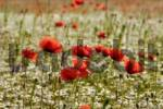 Thumbnail Corn Poppies or Field Poppies Papaver rhoeas growing on a meadow, Brand, Middle Franconia, Bavaria, Germany, Europe