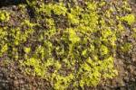 Thumbnail Yellow lichen on pink rock Mongolia
