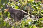 Thumbnail blackbird