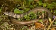 Thumbnail blindworm Anguis fragilis