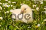 Thumbnail jung chicken in a meadow