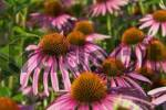 Thumbnail blossoms of purple coneflower echinacea purpurea, an old herbaceous plant helping against common cold.