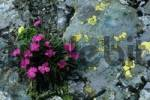 Thumbnail Carnation or Pink Dianthus pavonius, Hohe Tauern National Park, Austria, Europe
