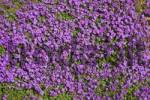Thumbnail Large-flowered Aubrieta, Rock Cress or Rockcress Aubrieta x cultorum, flowering, in bloom