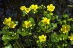 Thumbnail Flowering Kingcups or Marsh Marigolds Caltha palustris