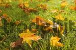 Thumbnail autumn leaves in the grass