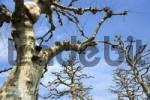 Thumbnail Plane or Sycamore Trees Platanus acerifolia with birdhouse