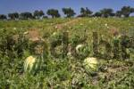Thumbnail Watermelons in a field, Greece, Europe