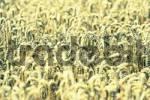 Thumbnail seasoned crop of a corn field nearby Munich