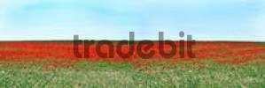 Thumbnail field of poppy seed