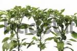 Thumbnail Pepper plants Capsicum